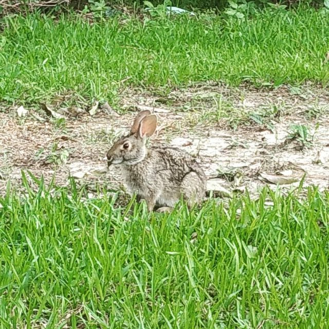 The cutest bunny has been hanging out in our backyardhellip