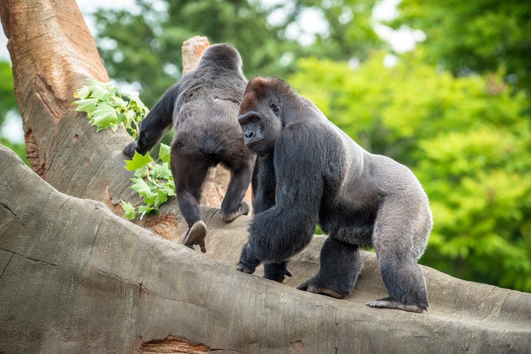 Gorilla Family Outside at the Houston Zoo- Find out what is new this summer and enter to win Four (4) a ll -day passes to the Houston Zoo.